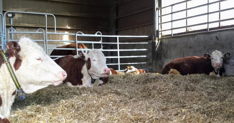 Hva er en bærekraftig landbruk i Norge? Er kjøtt fra drøvtyggere i Norge bærekraftig?